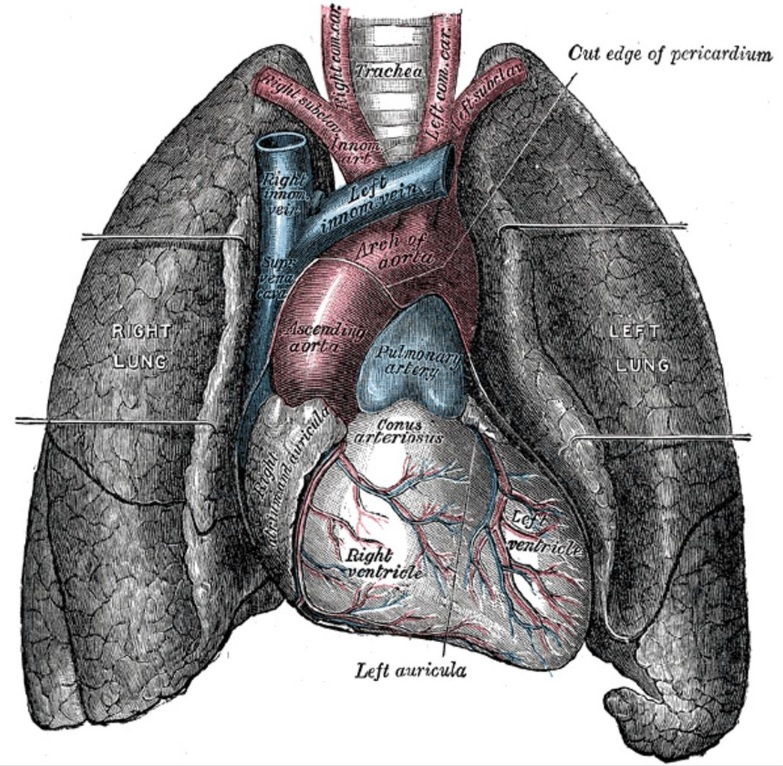 Anatomy picture - Respiratory system